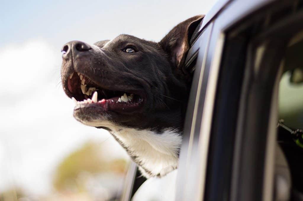 dog, happy, car